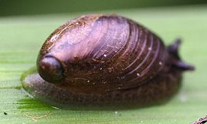 amber snail