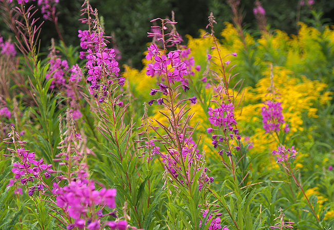 Rosebay willowherb and goldenrod