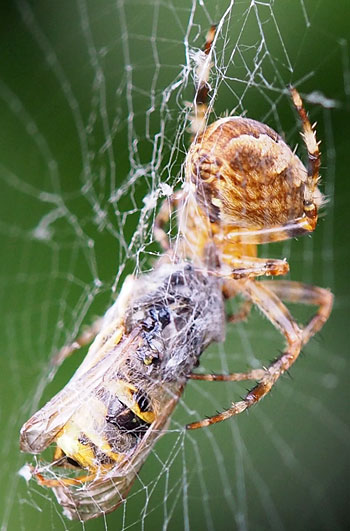 garden spider with wasp prey