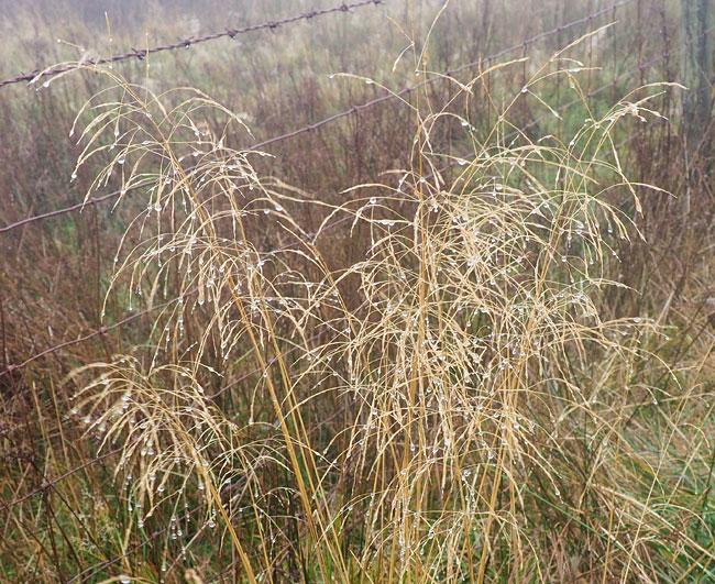 seeds heads of grass