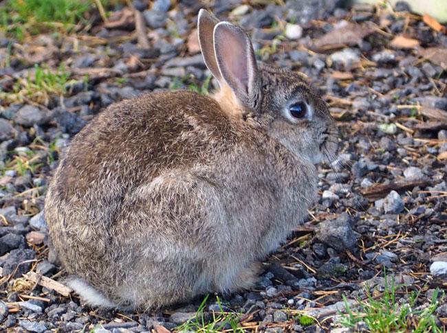 Young rabbit at