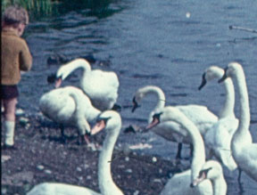Swan Feeding at Fairburn Ings, 1966 – Wild Yorkshire