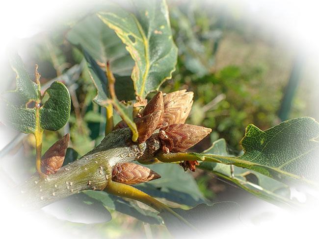 artichoke gall