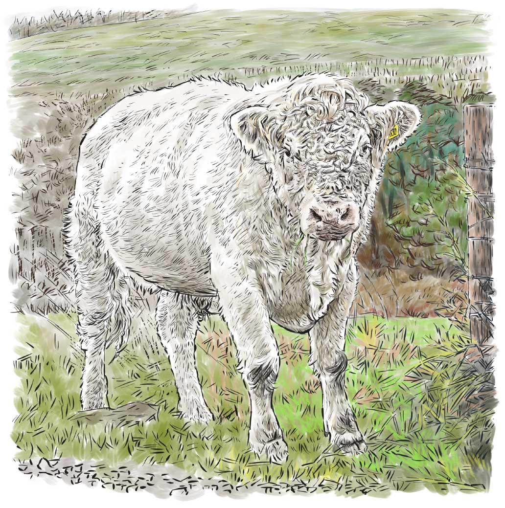 White Shorthorn Bull