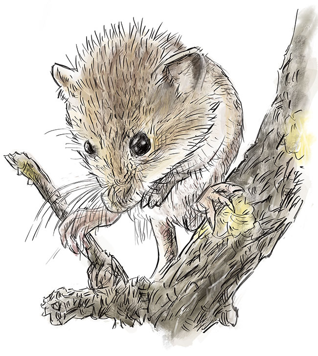 Harvest Mouse – Wild Yorkshire